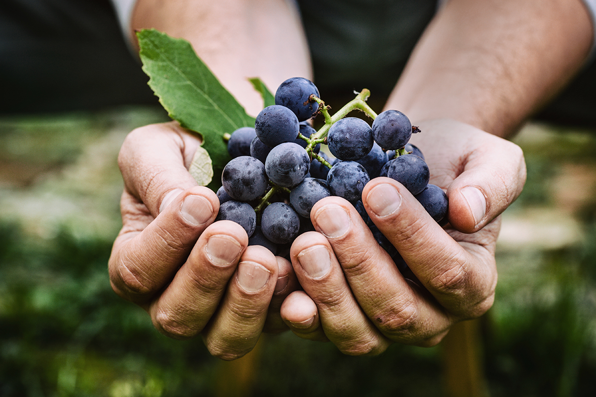 trambusti red grapes in hands